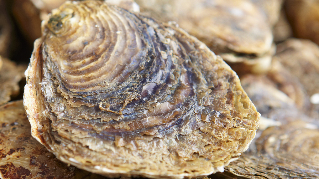 Familie Vette oesters